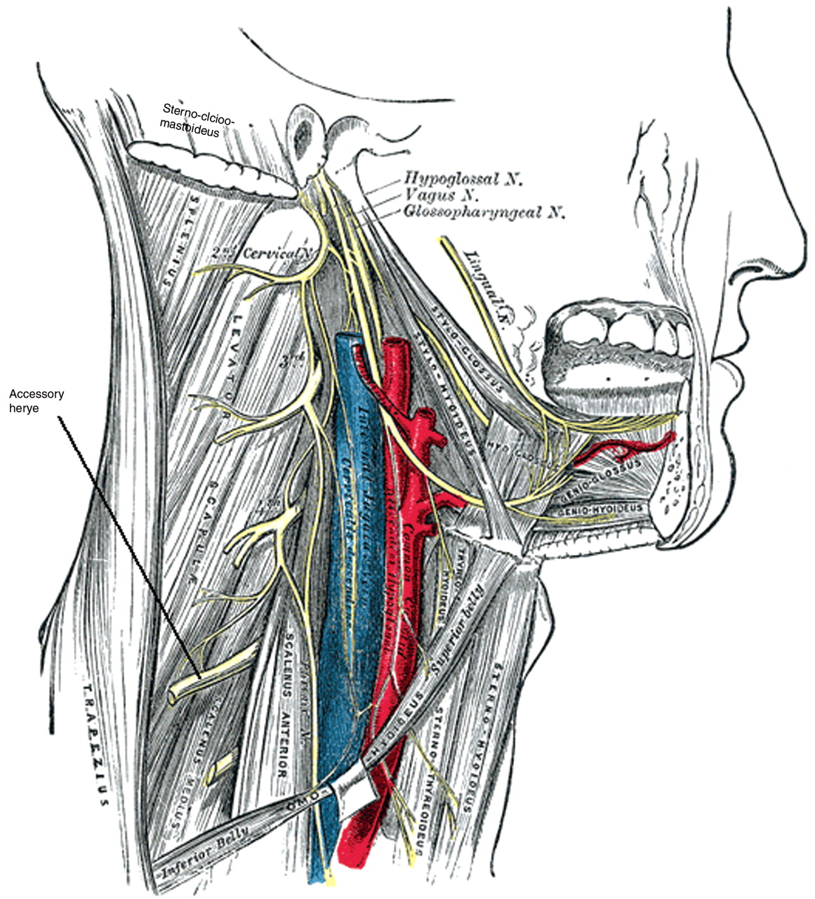 Spinal Accessory Nerve In Lymph Node