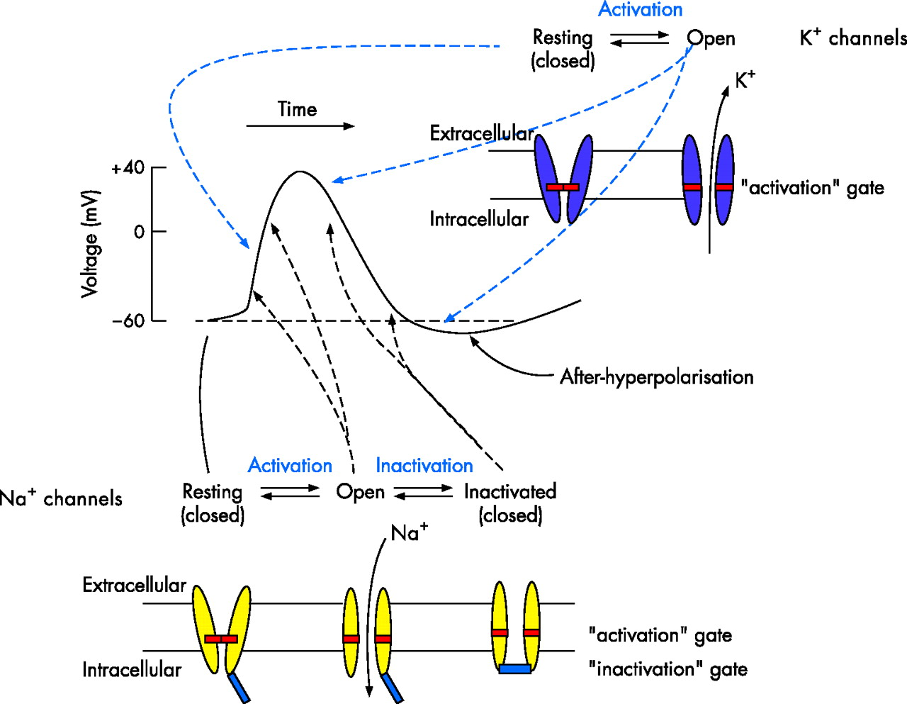 action potential 2 Action potentials and synapses home the brain  an action potential, or spike, causes neurotransmitters to be released across the synaptic cleft,.