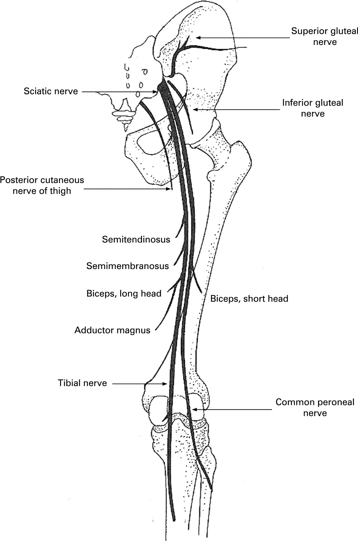 Foot drop: where, why and what to do? -- Stewart 8 (3 ... Sciatic Nerve Branches