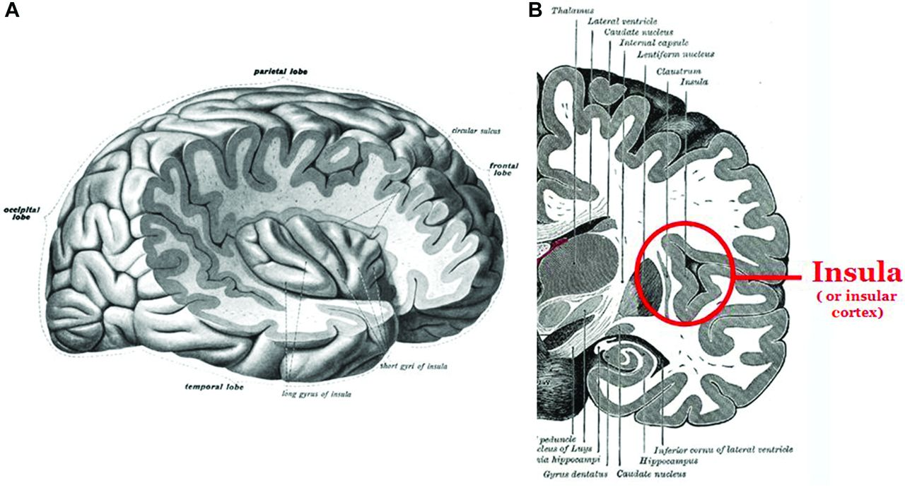 Navigating the Island of Reil: how to understand the insular cortex ...