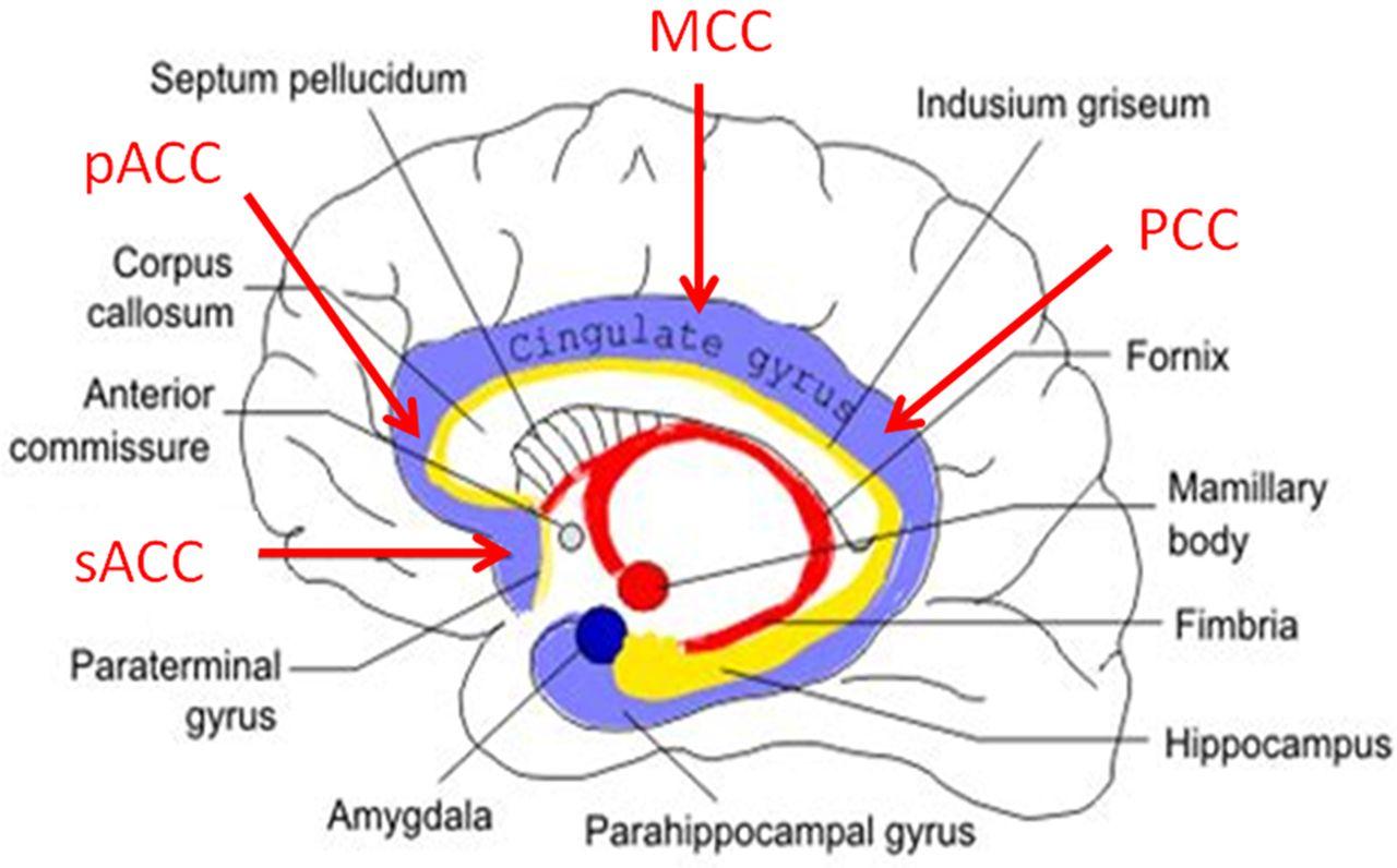 Cingulate Gyrus Epilepsy Practical Neurology